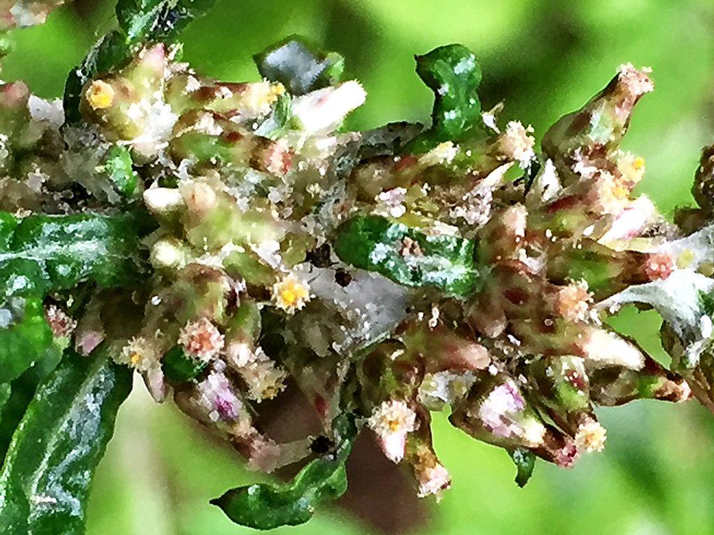 ウラジロチチコグサ(裏白父子草)数個の両性花とその周りに雌花を沢山つける