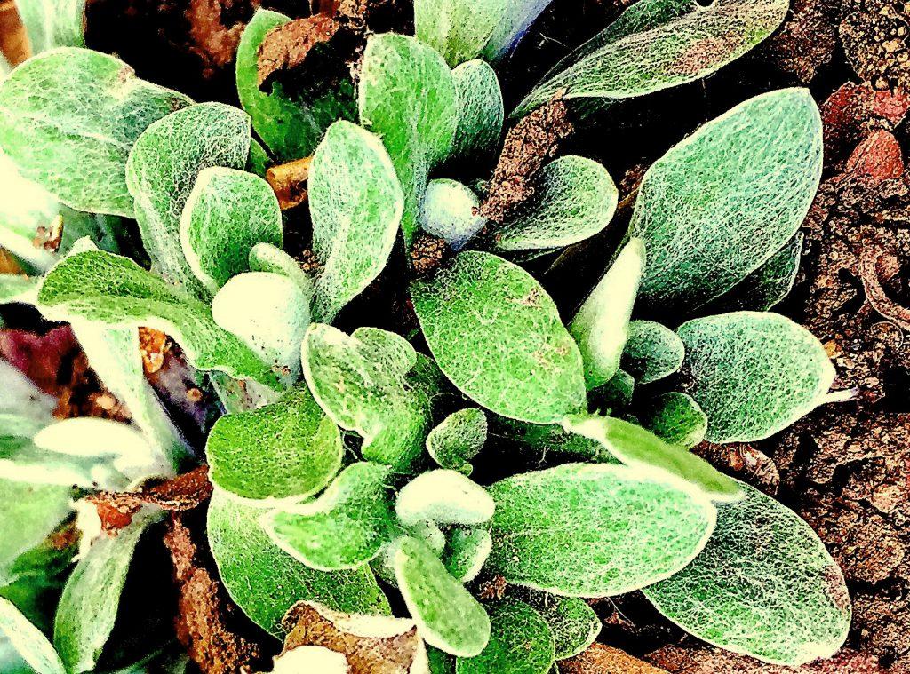 へら型で柔らかく厚みがあり綿毛が密集したハハコグサ(母子草)の葉