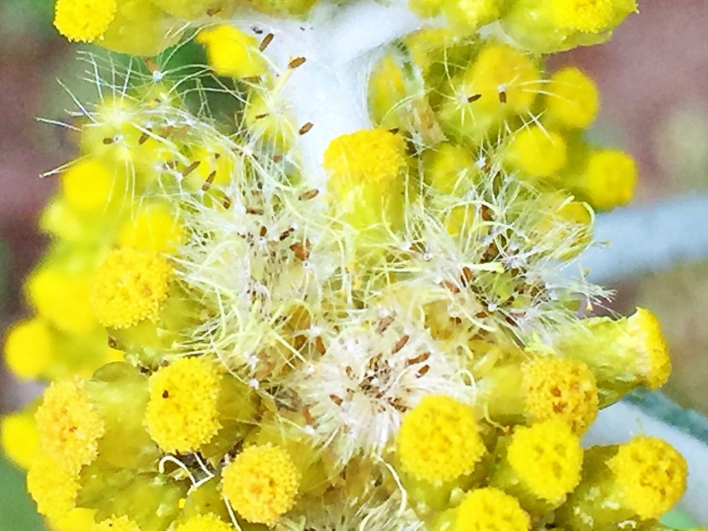 ハハコグサ(母子草)の果実そう果は褐色で0.5mmの長楕円形、冠毛は2mm