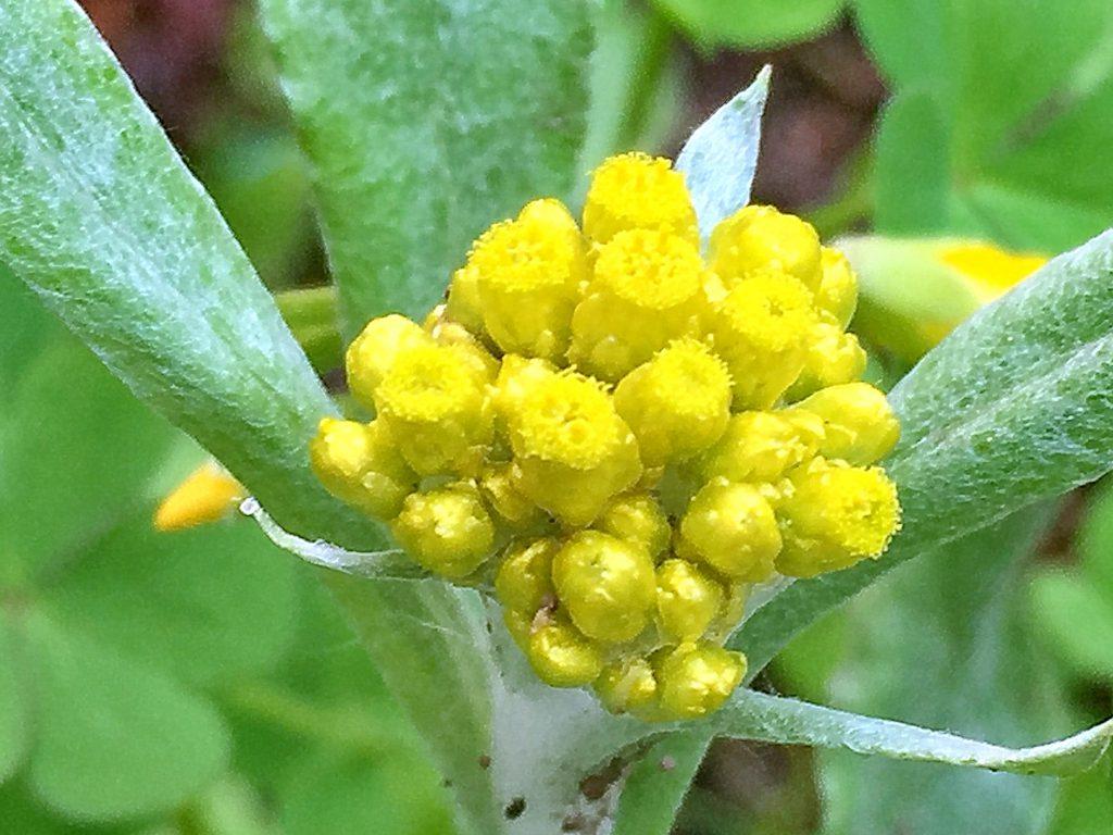 ハハコグサの筒状花、花柱は花弁より短く両性花は花柱が5裂、雌花は3裂する。