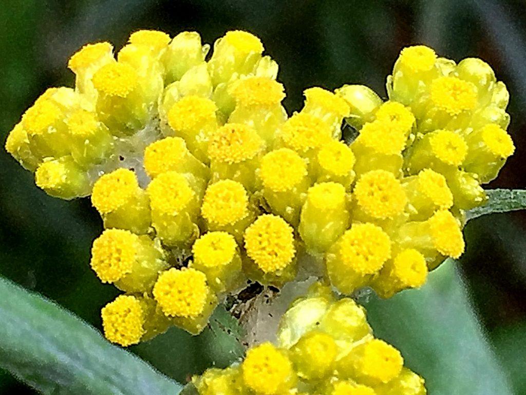 ハハコグサ(母子草)、数個の両性花の周りに雌花を付けます。