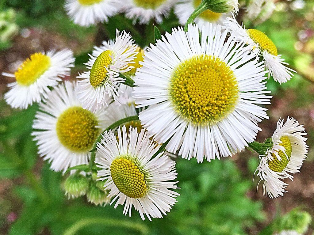 中央が黄色い筒状花、外側は8mm程の無数の線状の舌状花のハルジオン