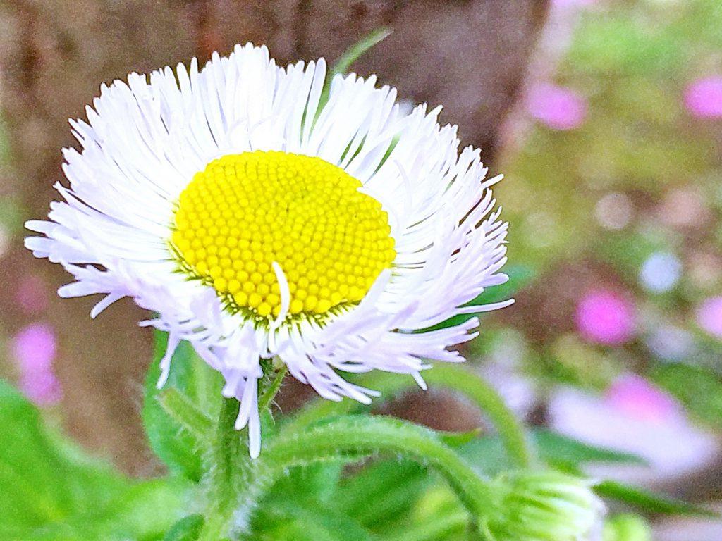 中央が黄色い筒状花、外側は8mm程の無数の線状の舌状花があるハルジオン