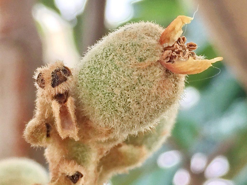 ビワの若い果実