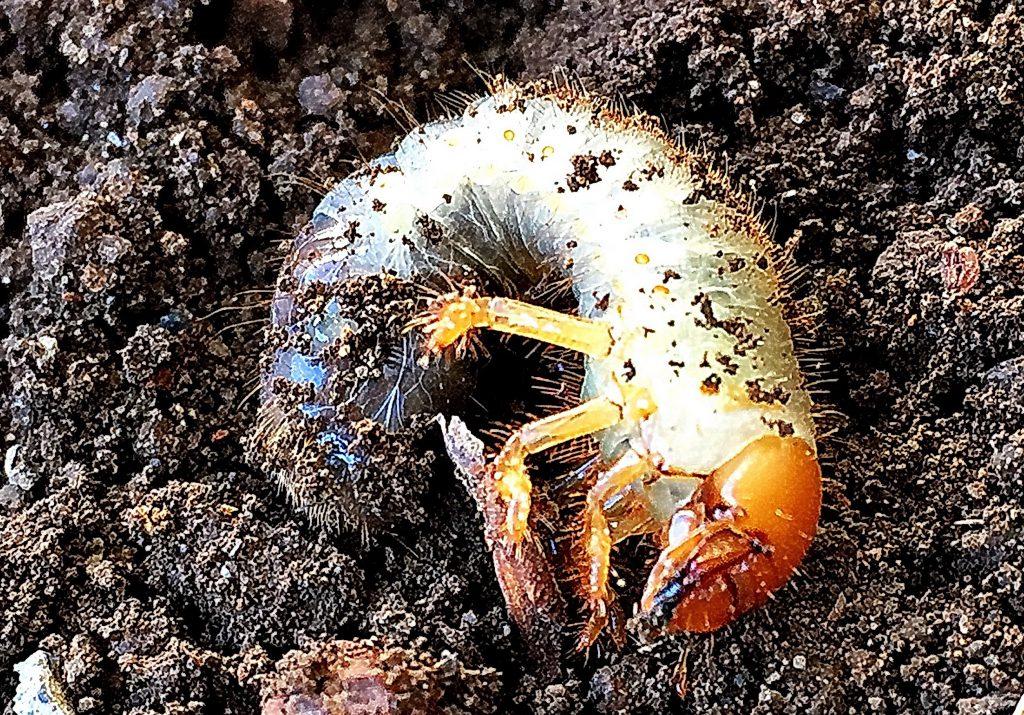 アオドウガネ幼虫