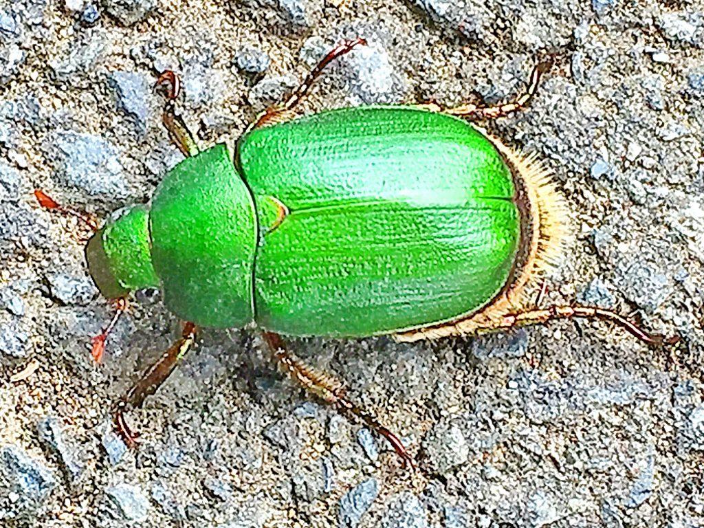 光沢がある綺麗な緑色のずんぐりしたアオドウガネ