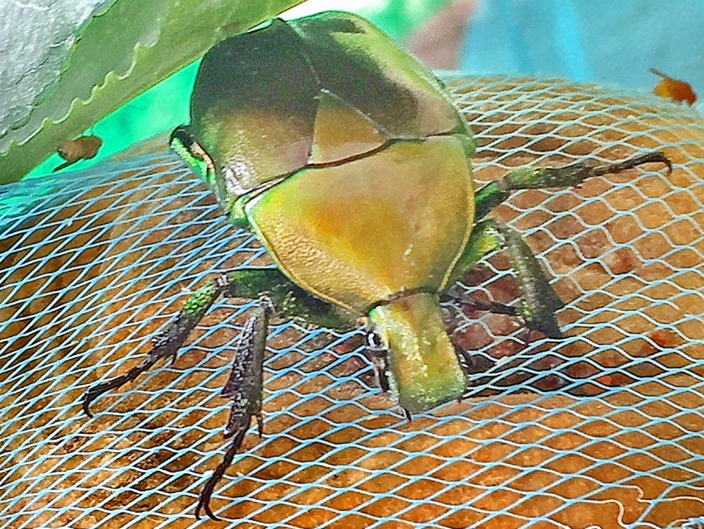 カナブン(金蚊)