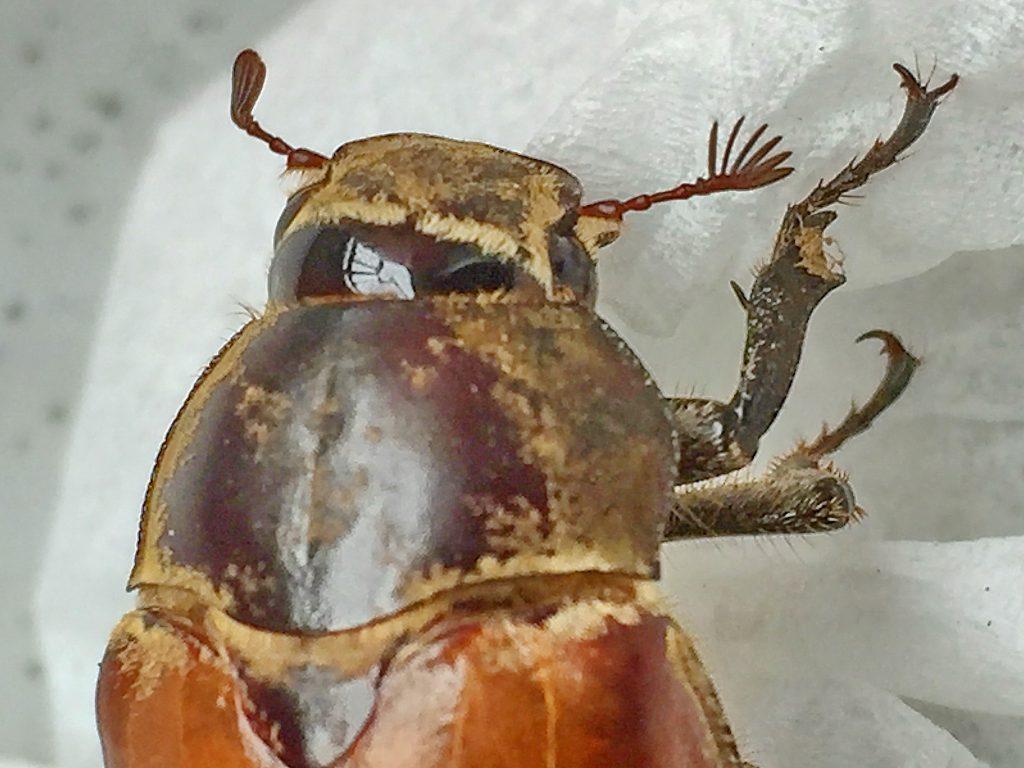コフキコガネの雌の触角の片状部は短いですが愛嬌があります
