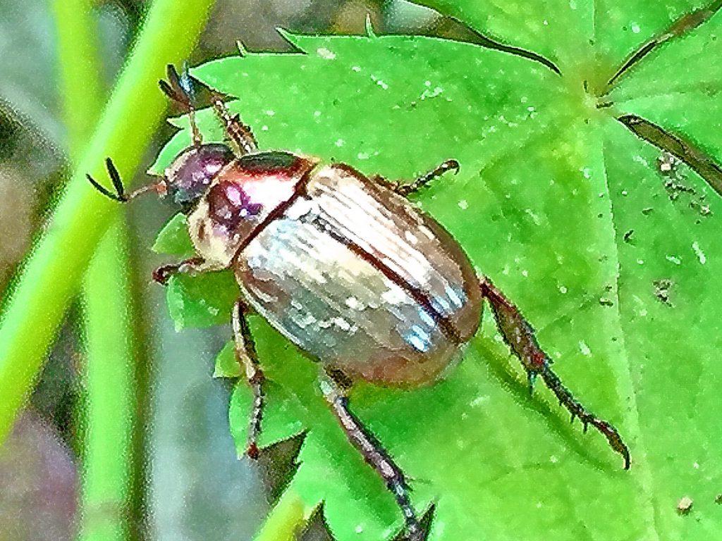 セマダラコガネの触角は9節で濃褐色、先端3節が3つに分かれて平たく広がる