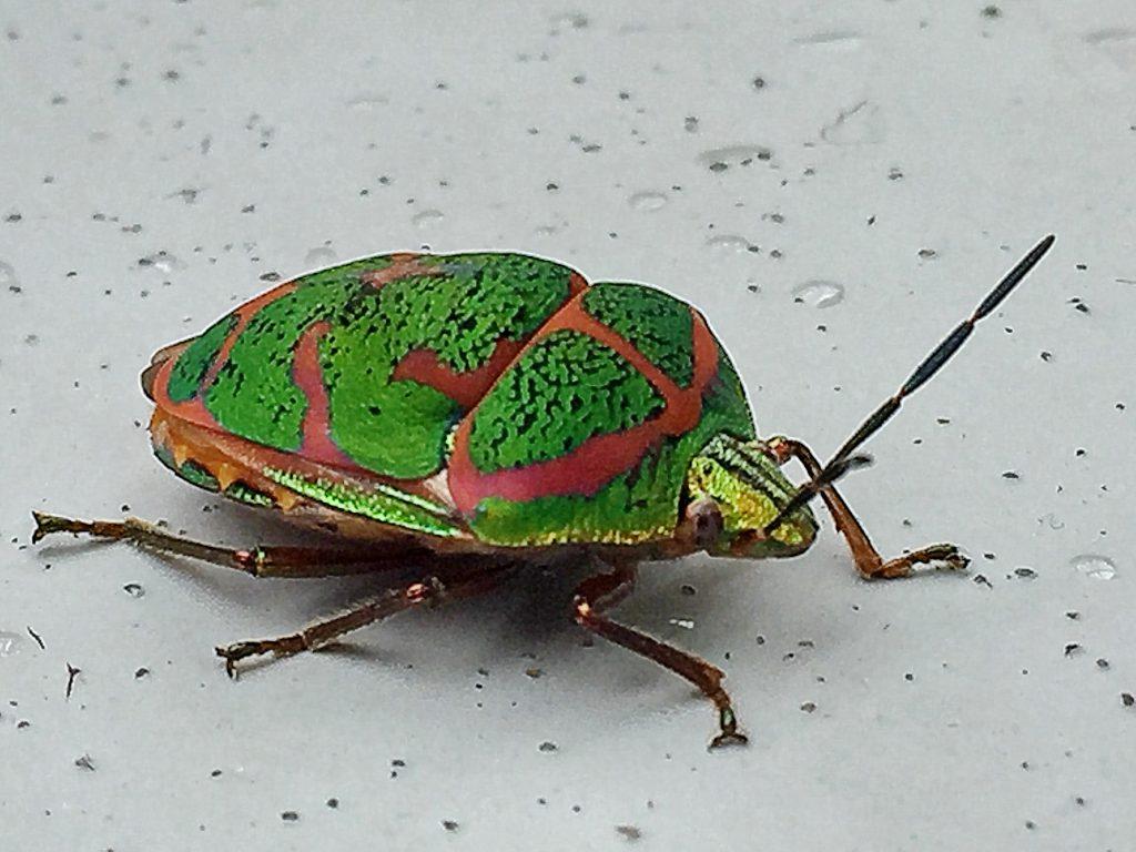 アカスジキンカメムシ(赤条金亀虫)