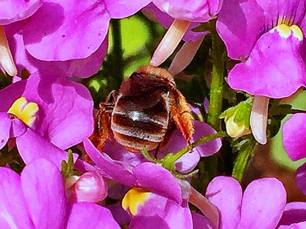 宿根ネメシアの花に頭をっつこむニッポンヒゲナガハナバチ
