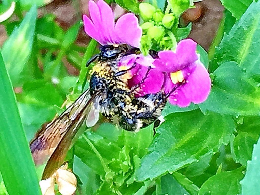 ネメシアの花粉だらけのニッポンヒゲナガハナバチ