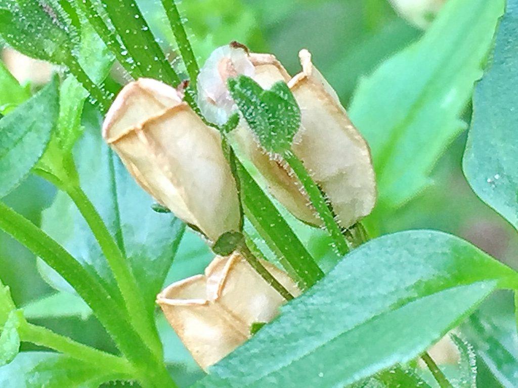 宿根ネメシアの鞘は熟すと茶色になり上部が開きます。