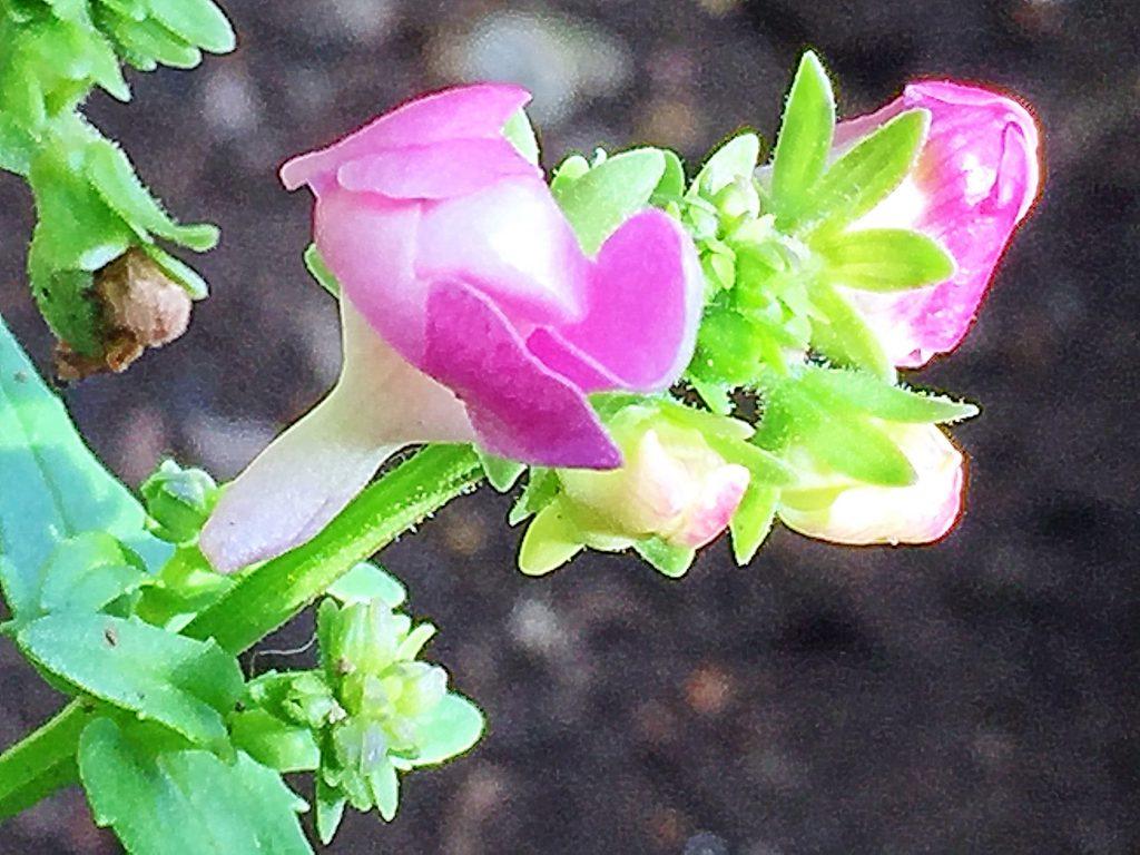 穂状の総状花序をだす宿根ネメシア