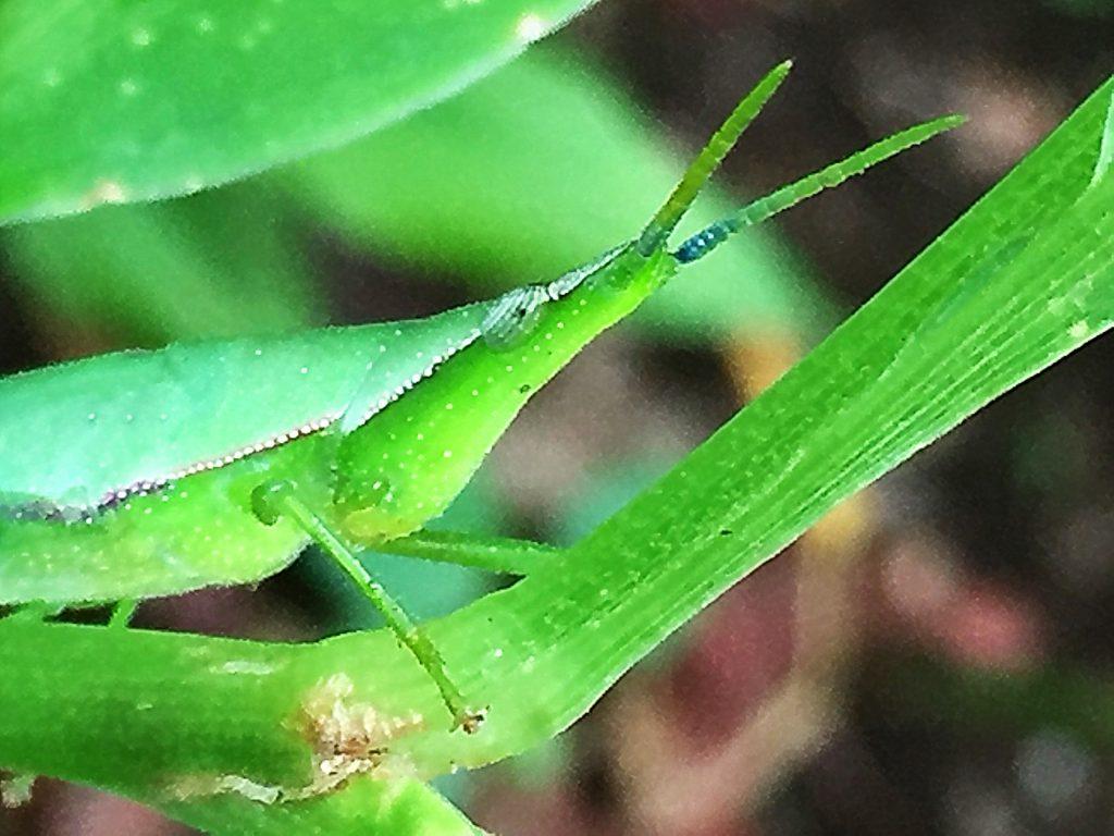 オンブバッタ(負蝗虫)は出したフンは後ろ脚で蹴っ飛ばす面白い癖を持っています