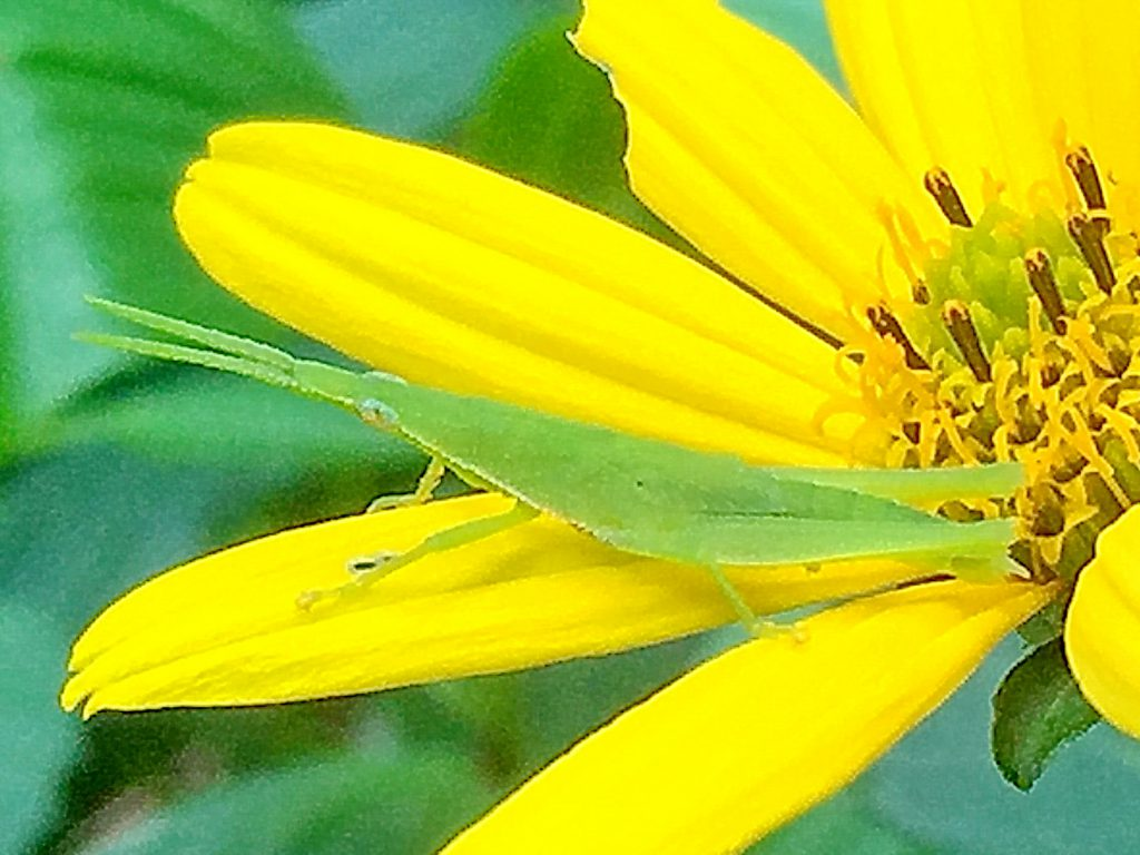 オンブバッタ(負蝗虫)は半日陰の草丈の少し高い場所が好き