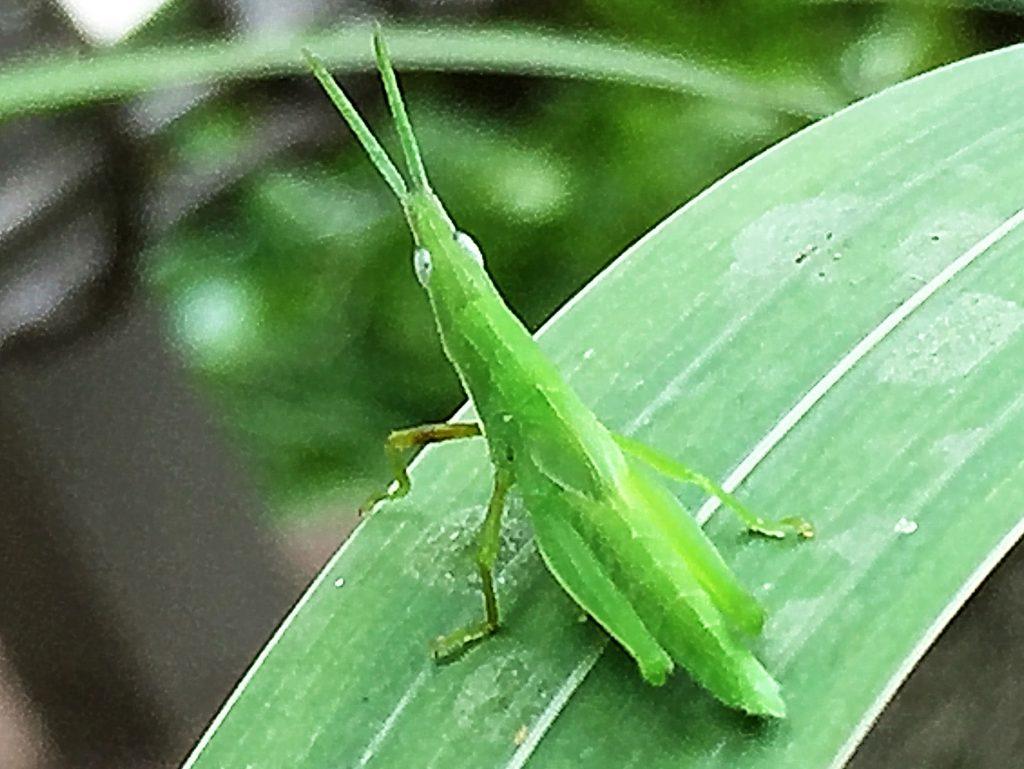 オンブバッタ(負蝗虫)の幼虫