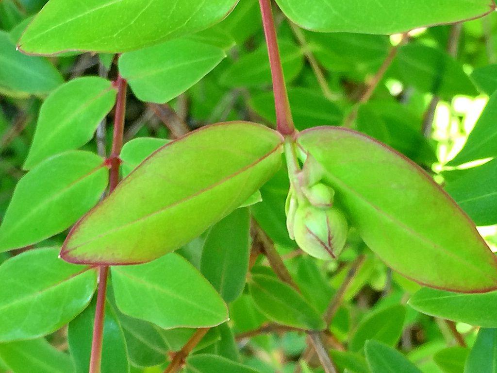 長楕円形で明るい緑色の、キンシバイ(金糸梅)の葉