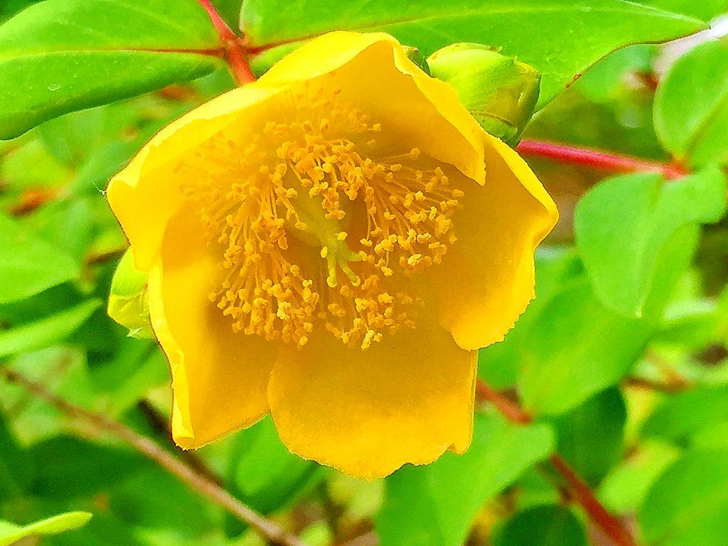 5枚の花弁はほぼ円形で重なるように先が少し丸まて咲くキンシバイ(金糸梅)