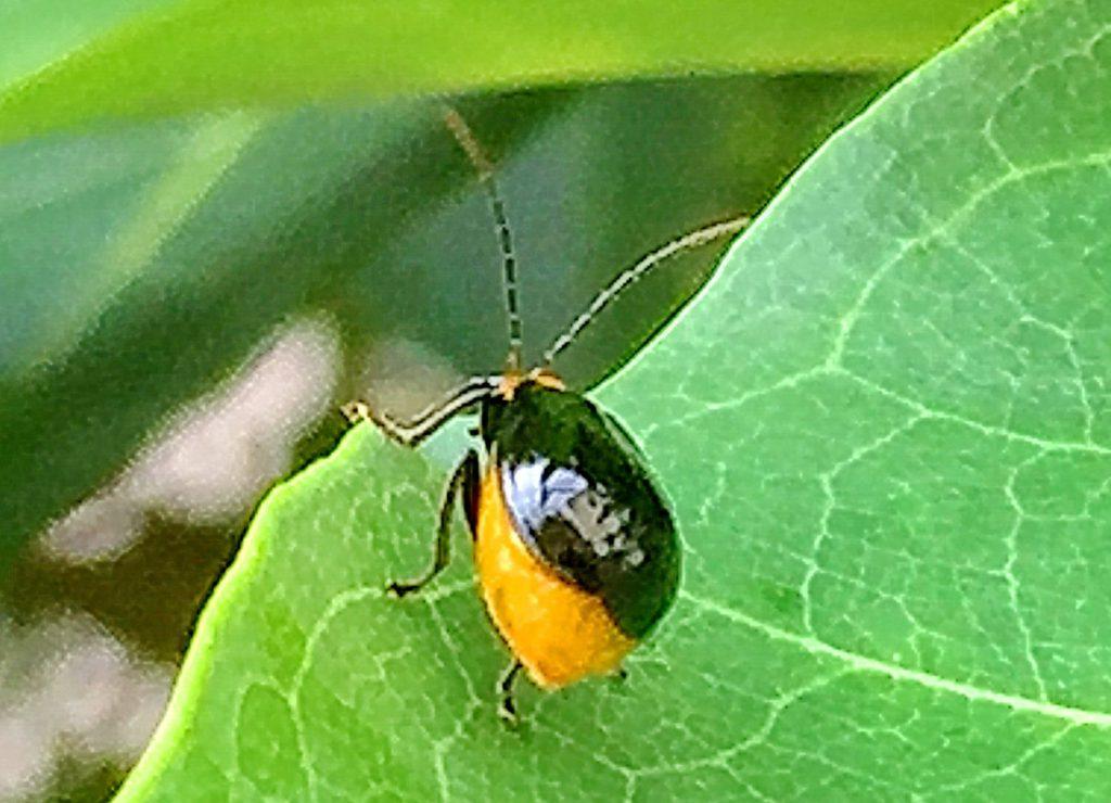 円く葉を切り取ってから内側を食べるトレンチ行動をするクロウリハムシ
