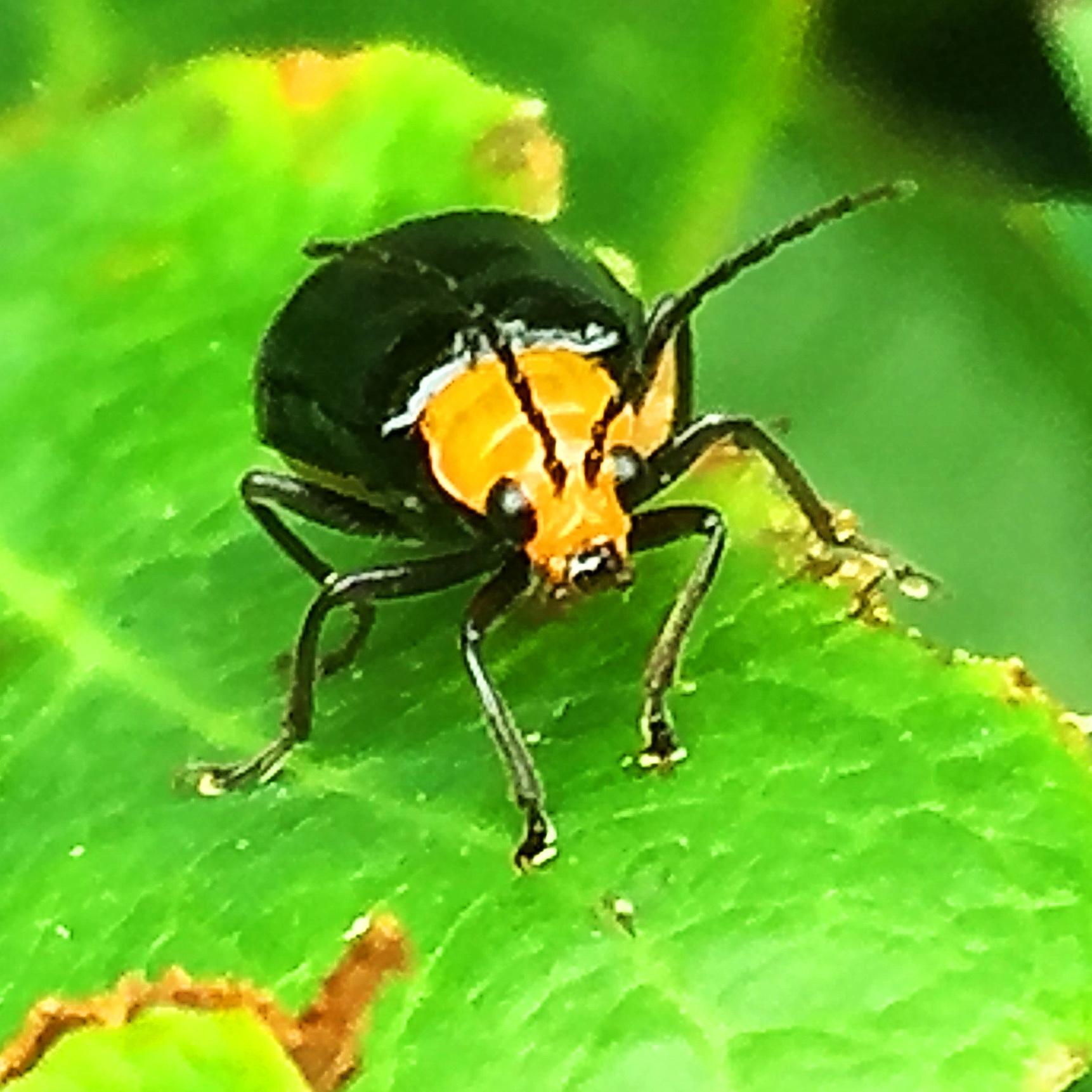 クロウリハムシ(黒瓜金花虫)