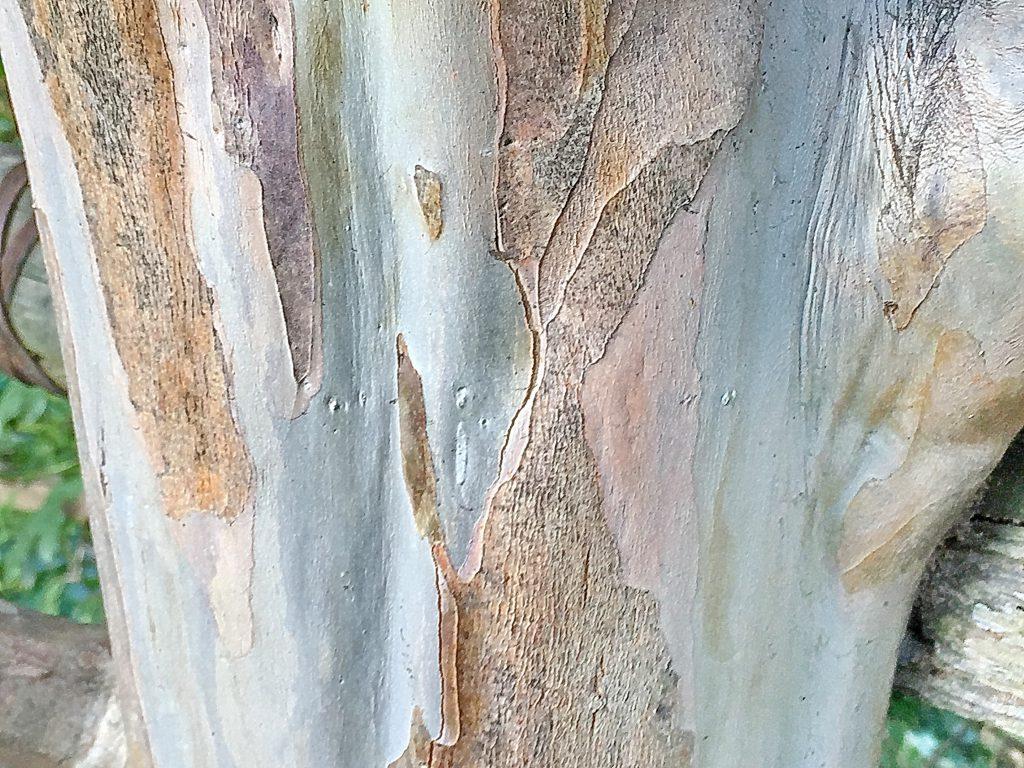 赤褐色のコルク層が薄くはがれ滑らかな木肌が美しいサルスベリの幹