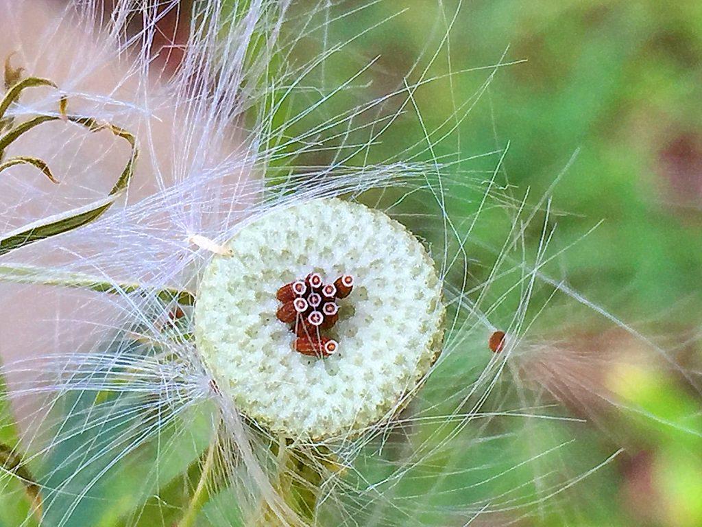 ダンドボロギク(段戸襤褸菊)の果実、冠毛は簡単に取れてしまいます