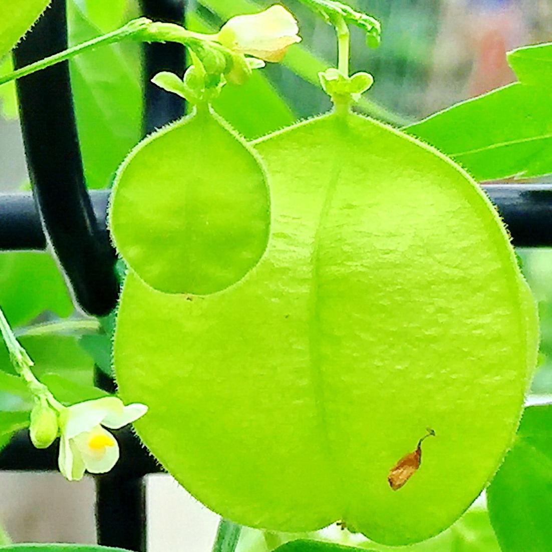 フウセンカズラの果実