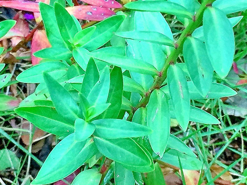 濃い緑色で十字に対生につき基部と先端が尖った披針形のミソハギ(禊萩)の葉