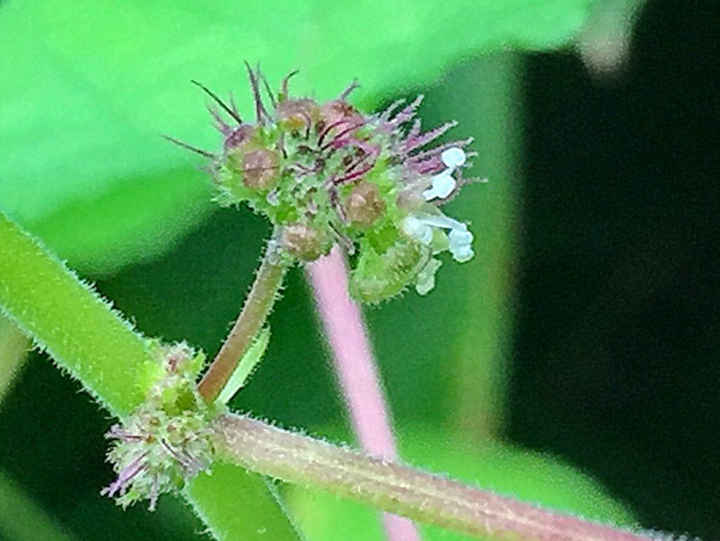 クワクサ(桑草)の雌花の紅紫色の糸状の花柱