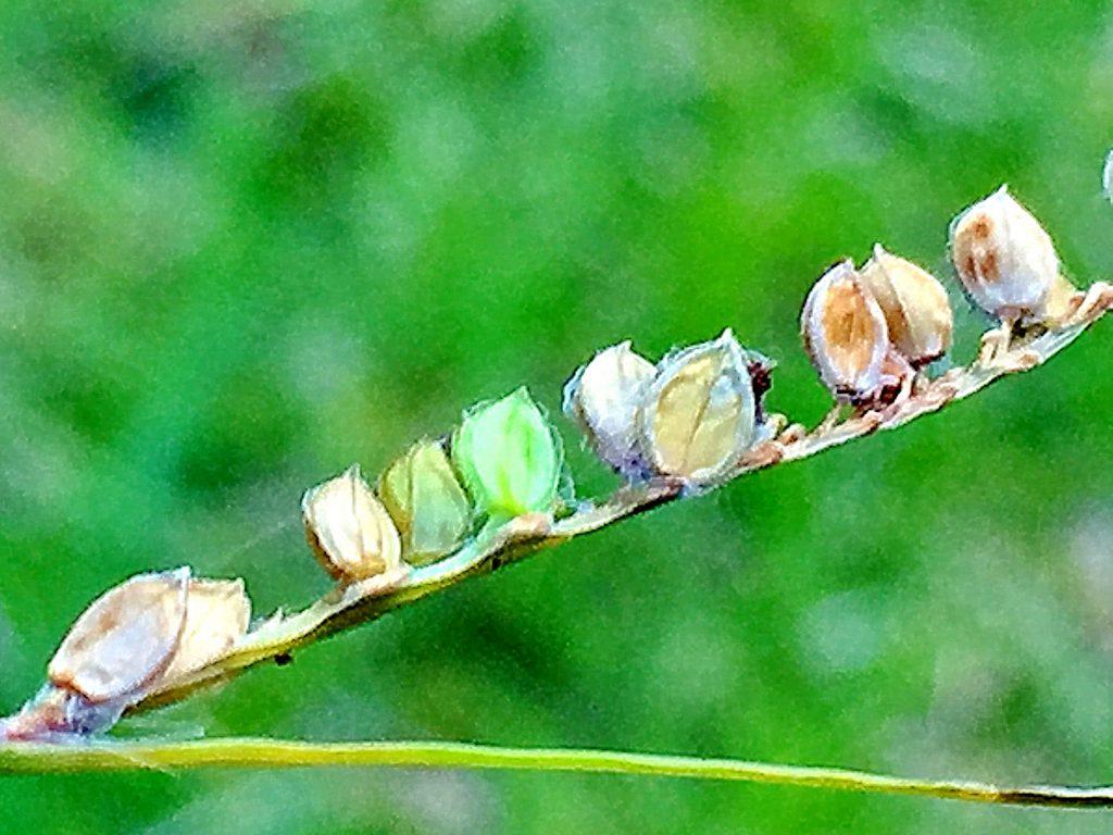 シマスズメノヒエ(島雀の稗)の果実