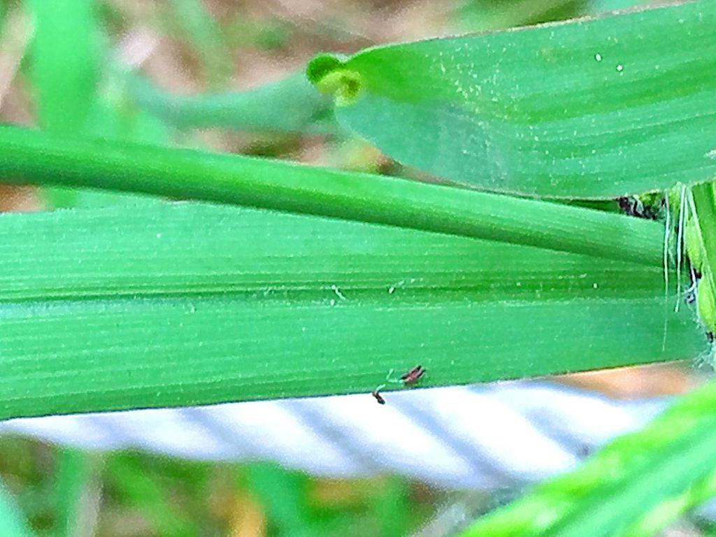 シマスズメノヒエ(島雀の稗)の葉