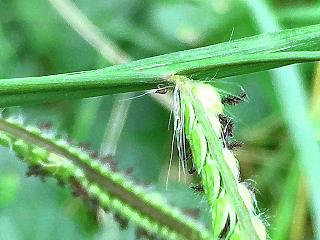 シマスズメノヒエ(島雀の稗)の総の基部の長毛