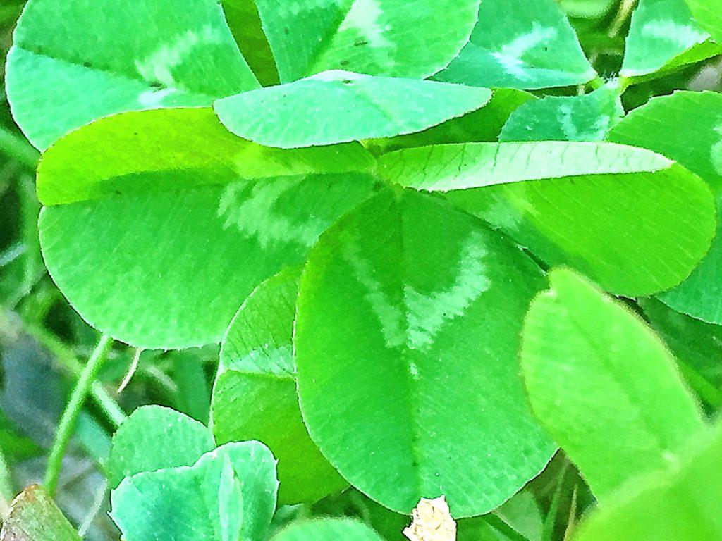 3小葉からなる複葉でV字の斑紋があるシロツメクサ(白詰草)の葉