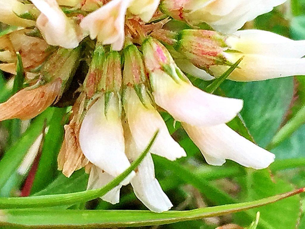 シロツメクサ(白詰草)の花には短い柄があり受粉すると下を向きます