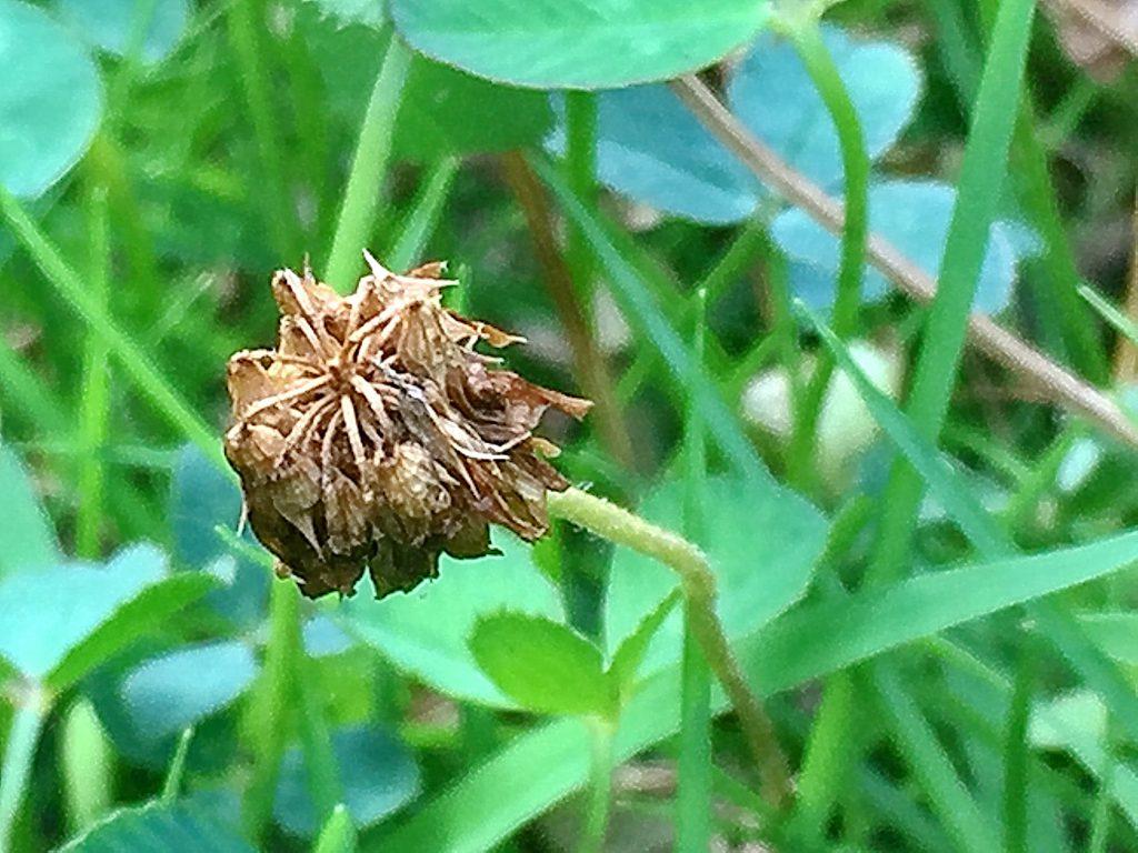 シロツメクサ(白詰草)の果実は長さ6mm、種子は5個並んでいる