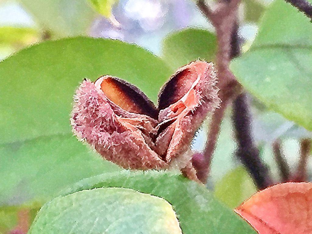 ベニバナトキワマンサクの果実、果実が2つに割れて種がこぼれました