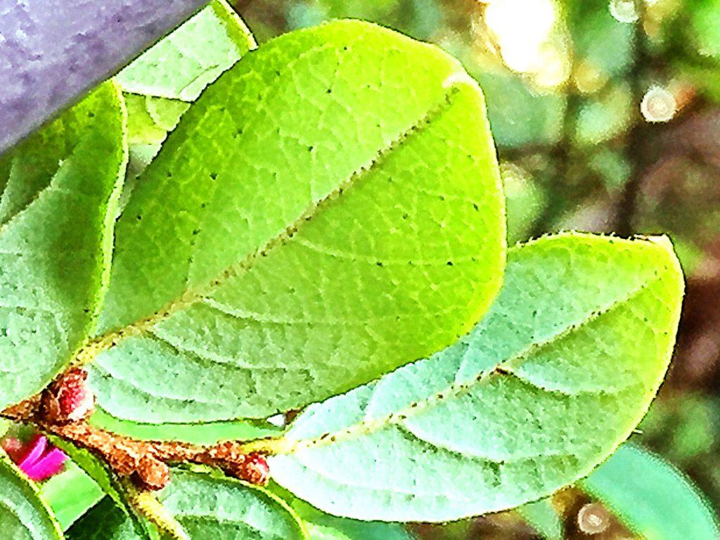 ベニバナトキワマンサクの葉裏、葉脈が隆起して毛が目立ちます。