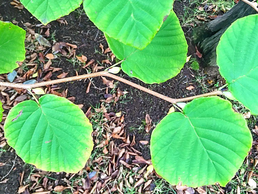 トサミズキの若い茎は分岐点でジグザグに屈折する
