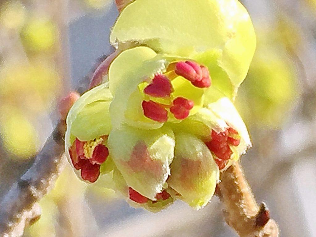 赤い葯から黄色い花粉が零れてきたトサミズキ