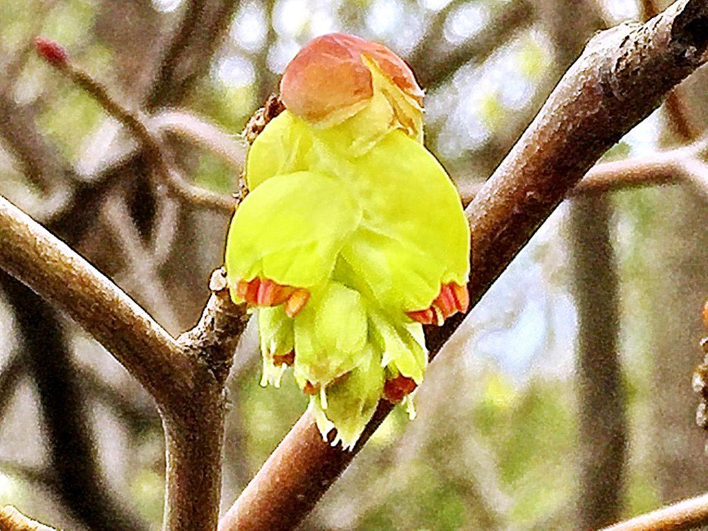 トサミズキの穂状花序