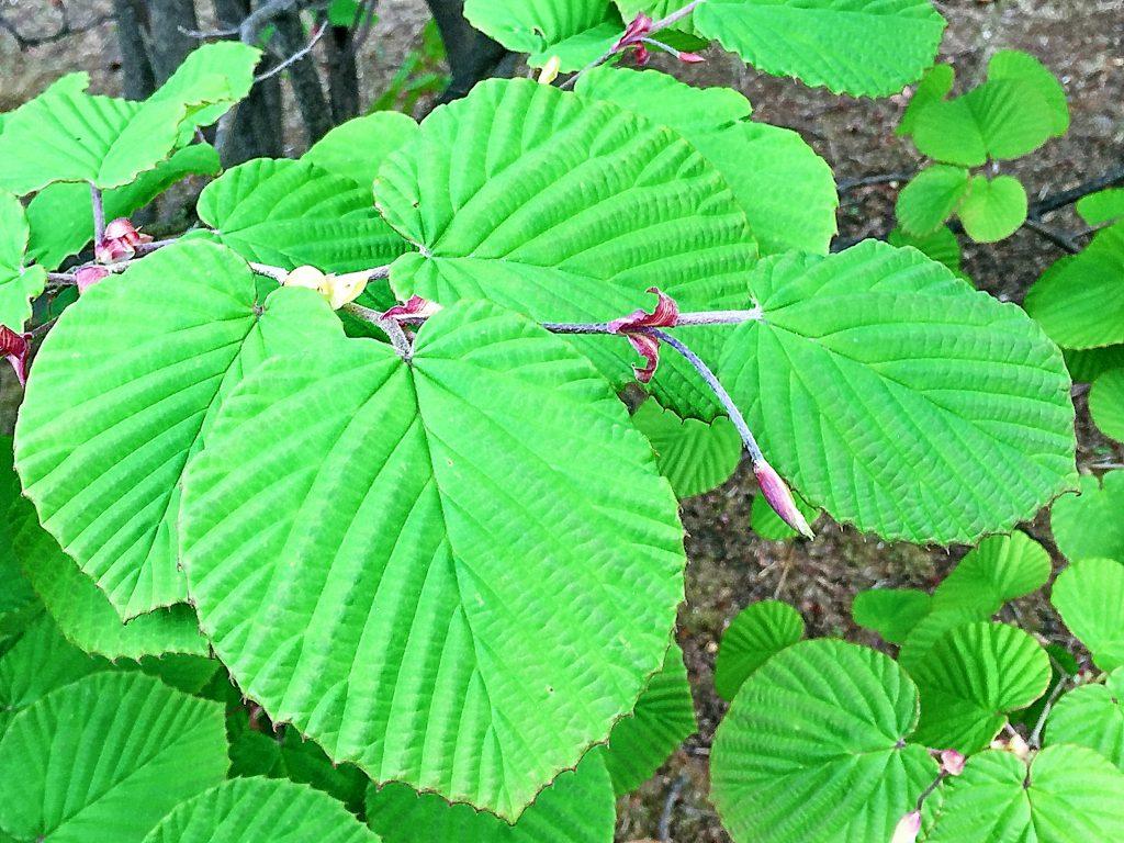 鮮やかな緑色になったトサミヅキの葉
