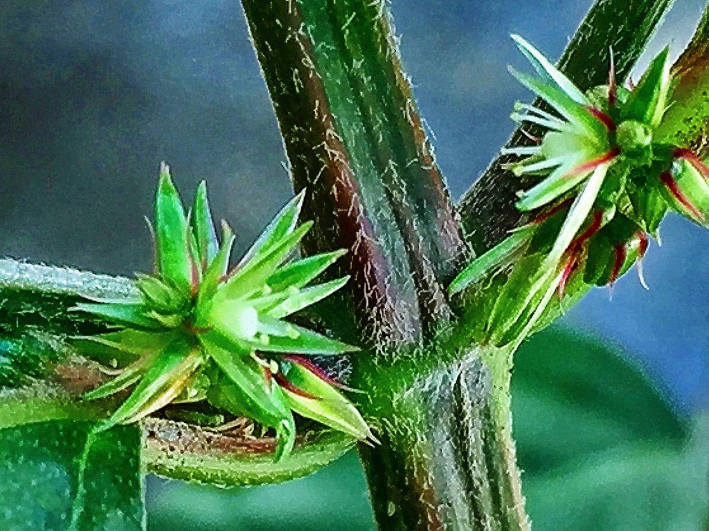 ヒナタイノコヅチ(日向猪子槌)の四角形の茎