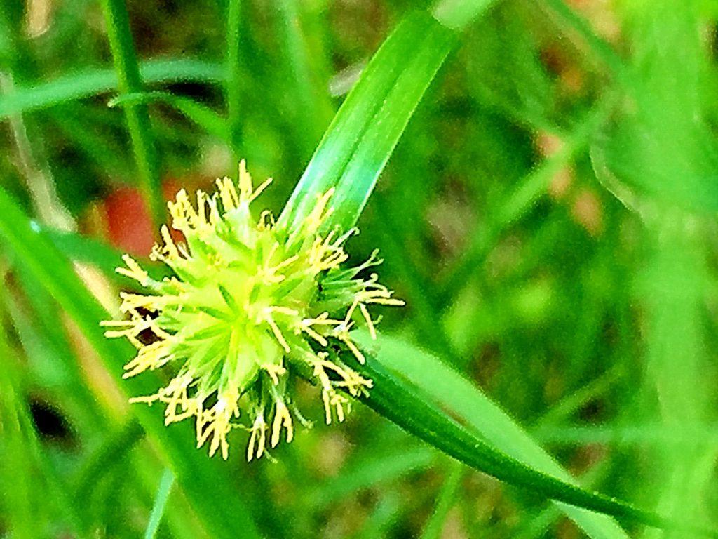 2番目の鱗片に両性花が付き花柱は2裂します。