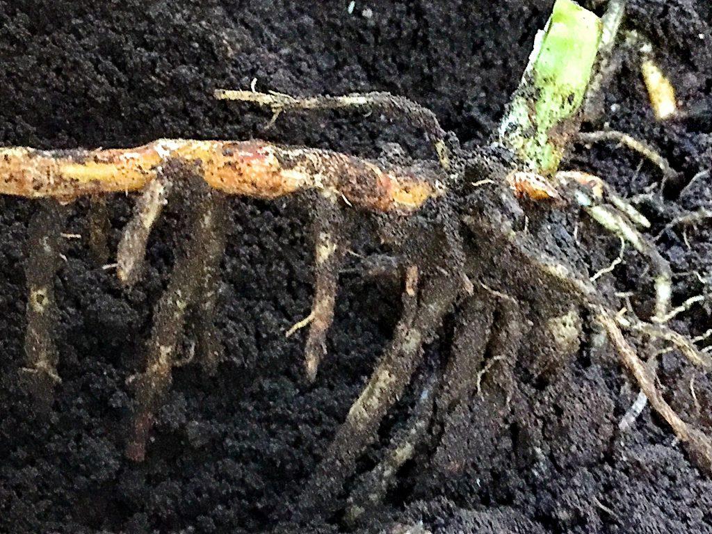 淡黄色の地下茎、偽茎や花穂を出す。地下茎で無性繁殖します
