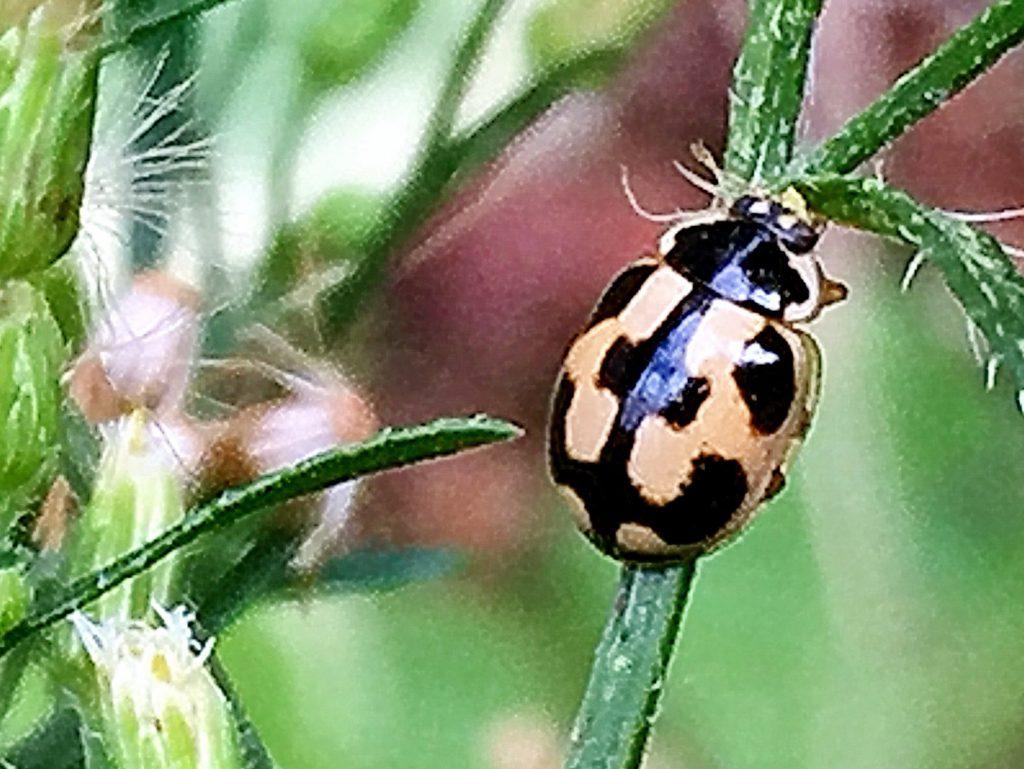 ヒメカメノコテントウ 基本型の亀甲型、雌