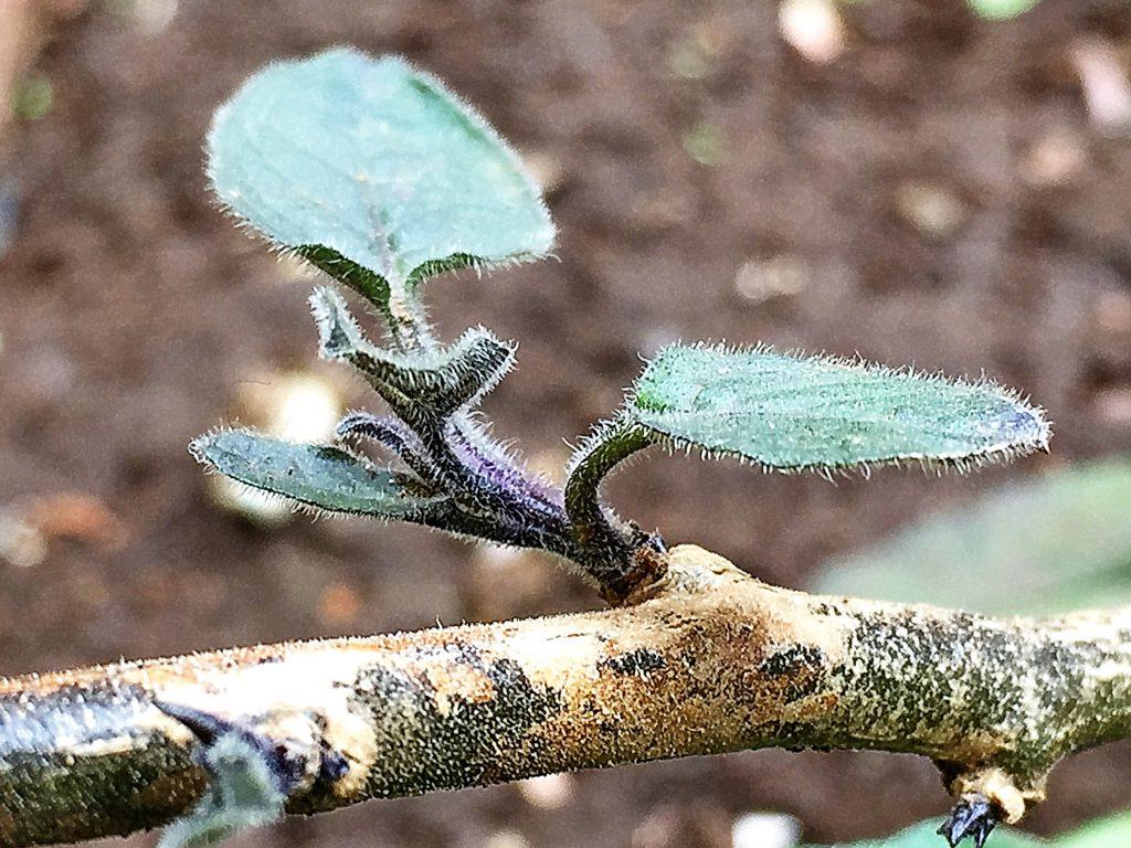 木質化したヒヨドリジョウゴ(鵯上戸)の下部の茎