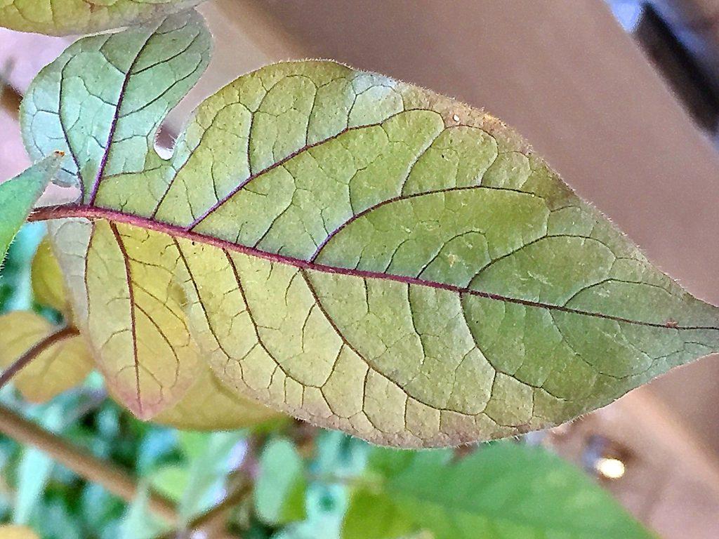 ヒヨドリジョウゴ(鵯上戸)の葉脈がくっきりした葉裏