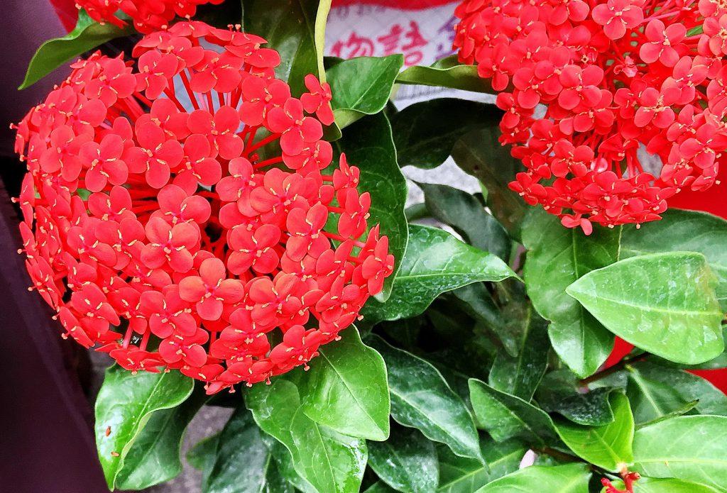ペンタスが似ているといわれるサンタンカの花