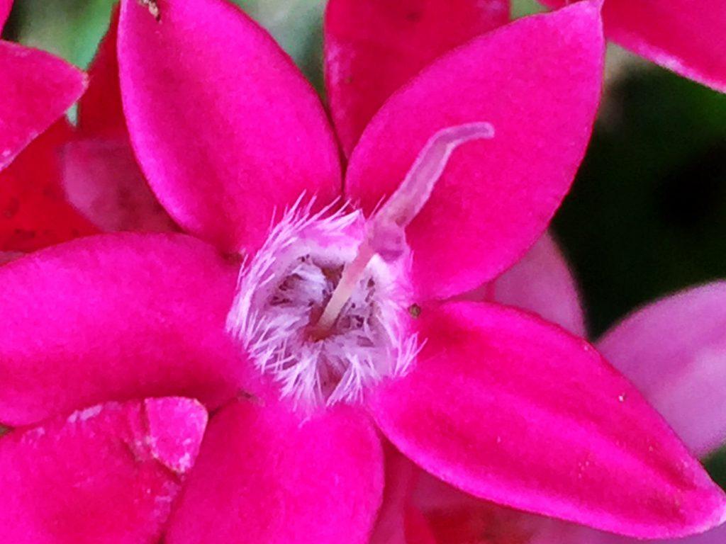 ペンタスの花は中心部から筒部の内側にも毛が密集し、5本の雄しべは隠れている